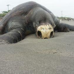 Esta tortuga fue la primera que vimos en la caminata por las playas de la isla. Lo mas triste, no fue el unico animal muerto. Eine tote Meeresschildkröte kreuzt unseren Weg beim Spaziergang am Strand. Das traurigste, es war nicht das einzige Tier das uns begegnete.